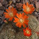 """Rebutia spinosissima 2"" by mjphotography"