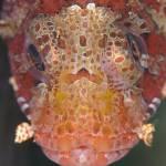 """scorpionfish close-up"" by jonhanson"