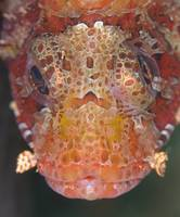 scorpionfish close-up