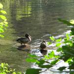 """Walden Pond Ducks"" by halobelle"
