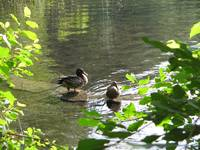 Walden Pond Ducks