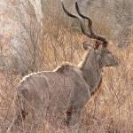 """kudu"" by jhecim"