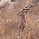 """kudu 2"" by jhecim"