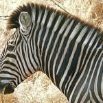 """zebra"" by jhecim"