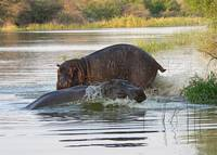 hippos at play