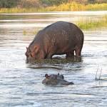 """""""hippo 2"""" by jhecim"""
