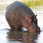 """""""hippo 3"""" by jhecim"""