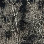 """""""Cottonwood Trees Abstract"""" by SSamuelson"""