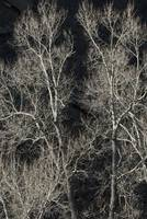 Cottonwood Trees Abstract