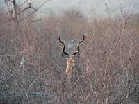 kudu horns in distance