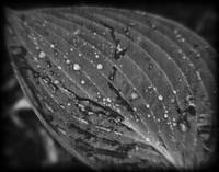 Hosta Leaf Black and White