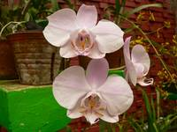 white orchid duo