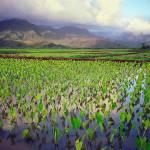 """Hanalei Valley Taro"" by skystudiohawaii"