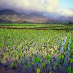 """Hanalei Valley Taro"" by skystudiohawaii"