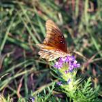 """Gulf Fritillary on Prairie Verbena"" by Whiteowl"