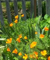 Califonia Poppys against fence