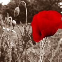 Flanders Poppy Art Prints & Posters by mwfstudios