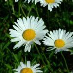 """Wild daisy macro"" by GregBanks"