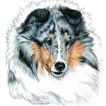 """Shetland Sheepdog Blue Merle Sheltie"" by KathleenSepulveda"