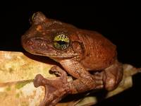 Treefrog at Night