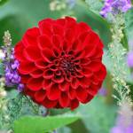 """Red Dahlia"" by starrtwin1"