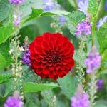 """""""Ring Around the Dahlia"""" by starrtwin1"""