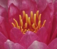 The Sensual Water Lily