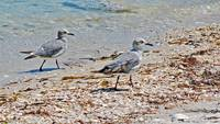 sandpipers on Florida beach