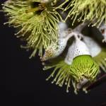 """Eucalyptus Kruseana"" by PaintingWithLight"