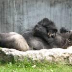 """""""Gorilla Nap"""" by SamAntonios"""