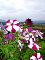 Vineyard Flowers 3