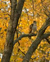 Autumn Hawk