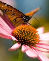 Cone Flower with Monarch
