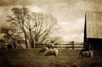 Sheep on Lummi Island