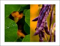 Bean Pods and Flowers
