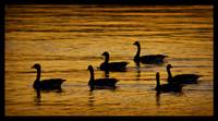 Canadian Geese on Lake Coeur d' Alene