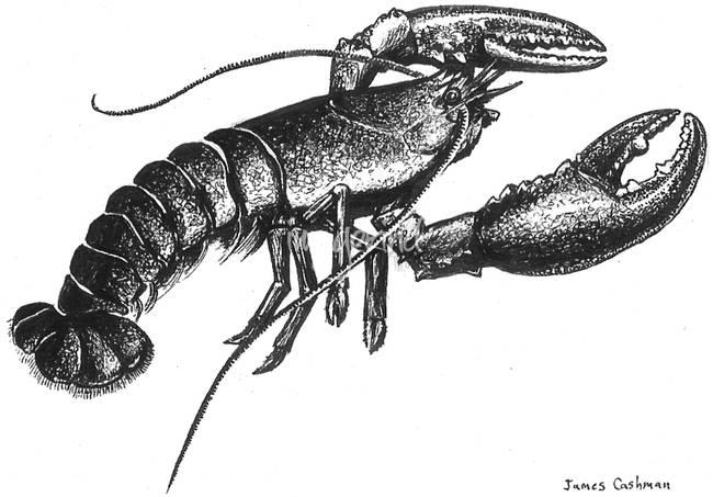 """Lobster Drawing Stunning """" lobster """" drawings and illustrations for ..."""