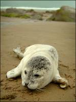 Cannon Beach Baby Seal