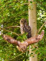 Barred Owls in a Tree