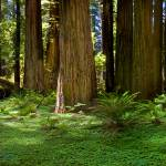 """Redwood Forest Panorama"" by pbk"
