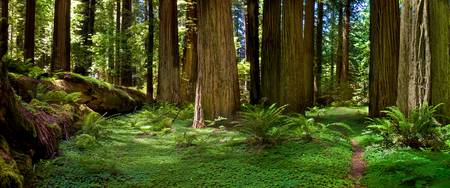 Redwood Forest Panorama