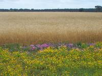 Wheatfield in May