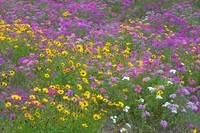Field of Flowers 1