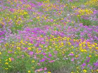 Field of Flowers II