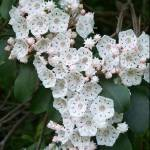 """Mountain Laurel"" by rderder"