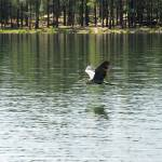 """Crane in Flight at Willow Springs Lake"" by azvirtual"