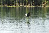 Crane in Flight at Willow Springs Lake