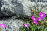 Burren Stone and Purple Flowers
