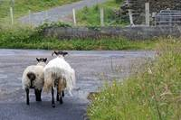 County Galway Sheep