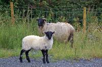 Roadside Sheep